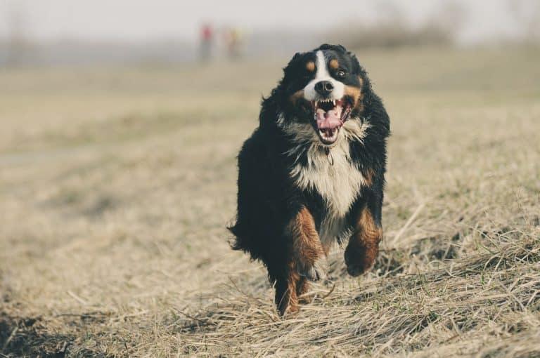 Laufender Hund von vorne