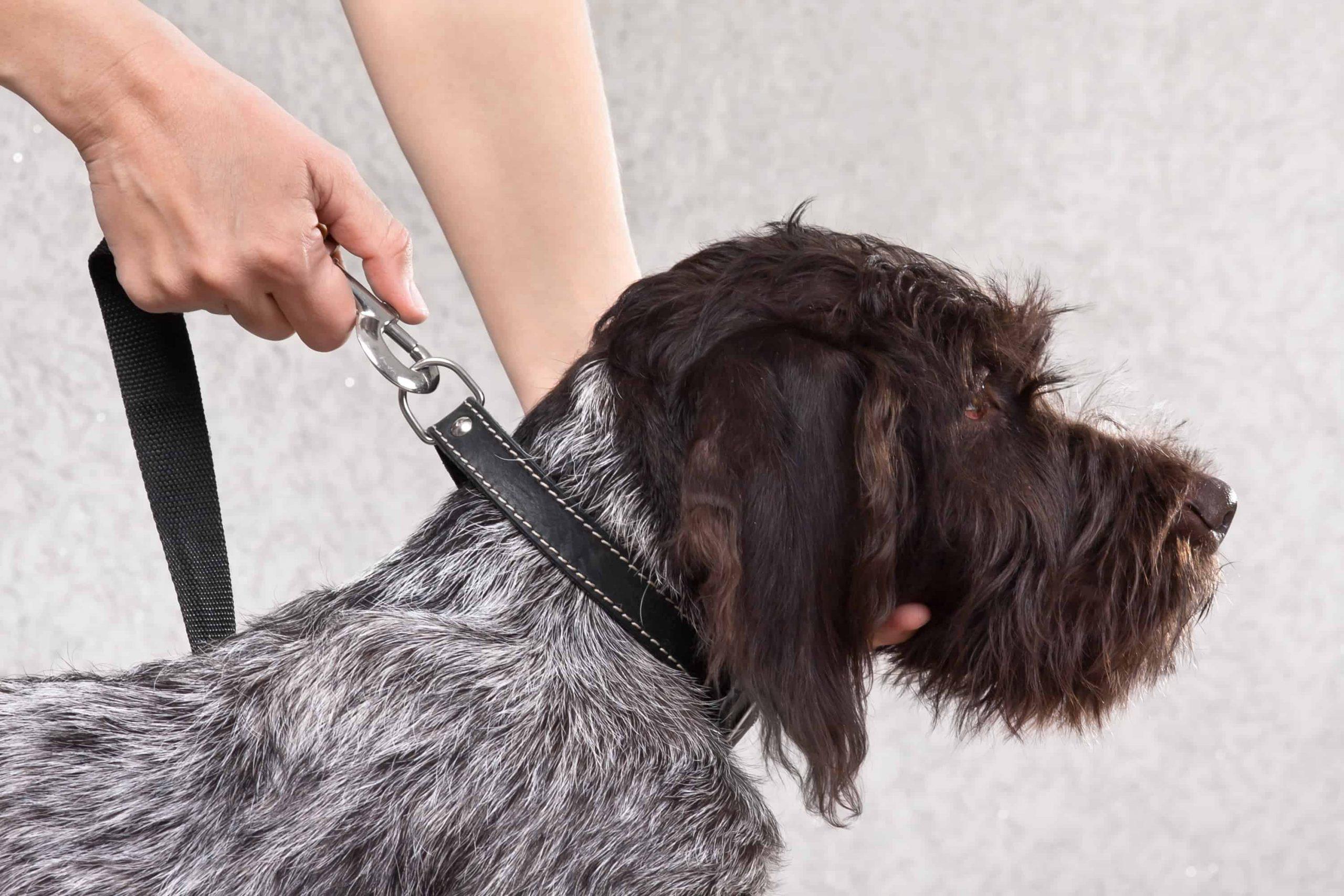 Lederhalsband für Hunde: Test & Empfehlungen (04/21)