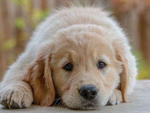 Der daraus resultierende Sekretstau kann bei einem Hund für eine Entzündung im Analbeutel führen. Bildquelle: Bill Stephan/123rf